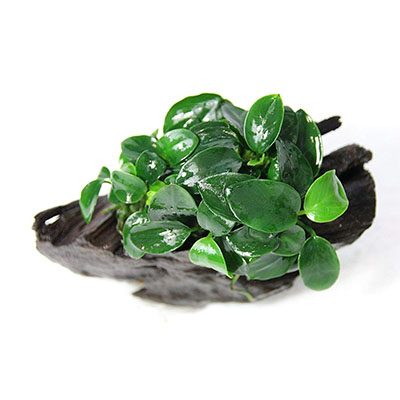 Best Live Plants for AquariumAnubias Nana Petite on Driftwood