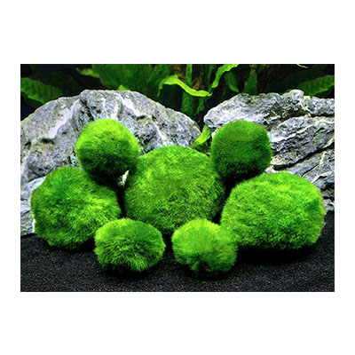 Best Live Plants for Aquarium Marimo Moss Ball Variety Pack