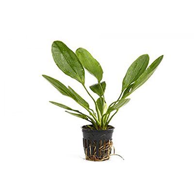 Best Live Plants for Aquarium Potted Melon Sword