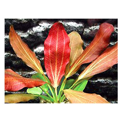 Best Live Plants for Aquarium Red Flame Sword